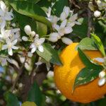 Apa florală de portocal şi beneficiile sale pentru ten