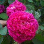 Trandafirul de Damasc – pentru o piele mereu tânără